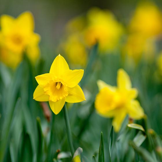 Narcise galbene in parcul IOR