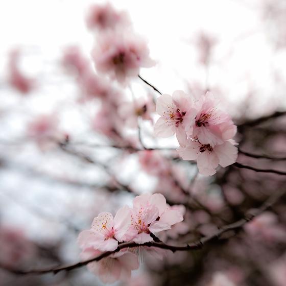 Flori roz de primavara