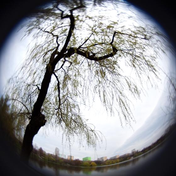 Salcie pe aul lacului IOR